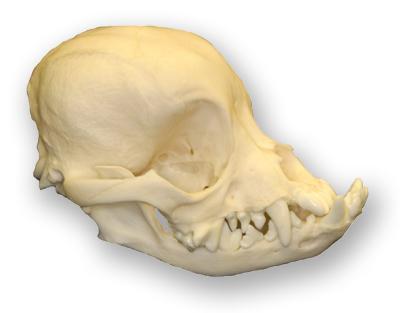 pekingese-skull-lg1