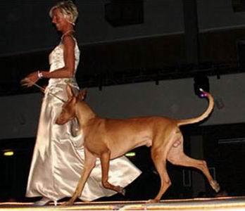 А вот у этой дамы есть повод одеться так роскошно: ее питомец Antefa's Q-Lahn бежит по подиуму на норвежском Шоу Чемпионов