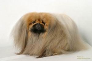 Пекинес - собака императорских кровей. фото пекинеса.