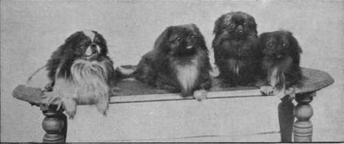 a-group-of-famous-pekinese-dogs-puck-chu-erh-kudai-and-w